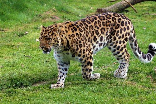 amur leopard  leopard  nature