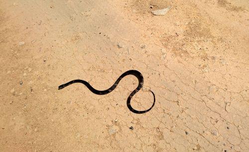 amur ratsnake snake shrenk snake