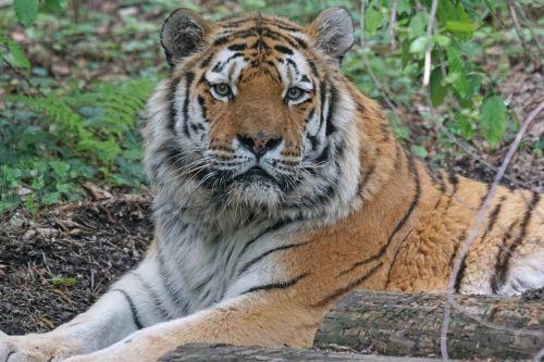 amurtiger tiger cat