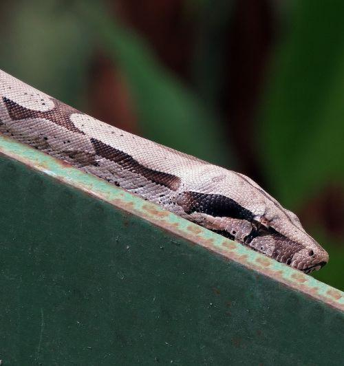 anaconda snake reptile