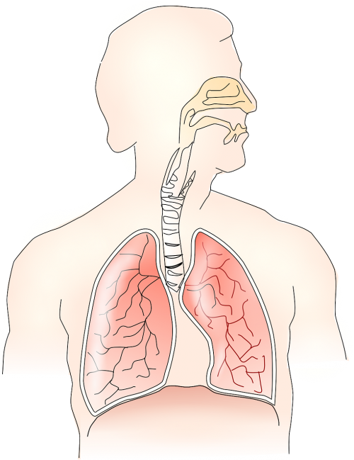anatomy lungs breathing