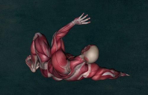 anatomy muscle muscular system