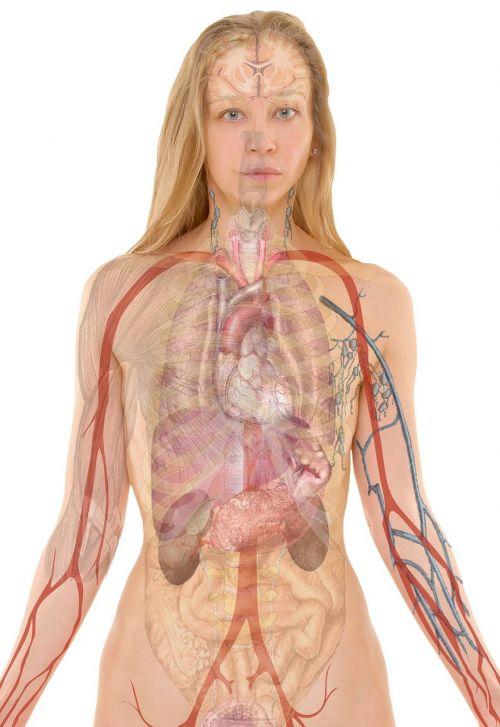 anatomy woman human