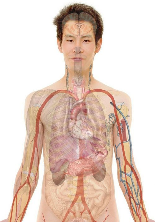 anatomy man human