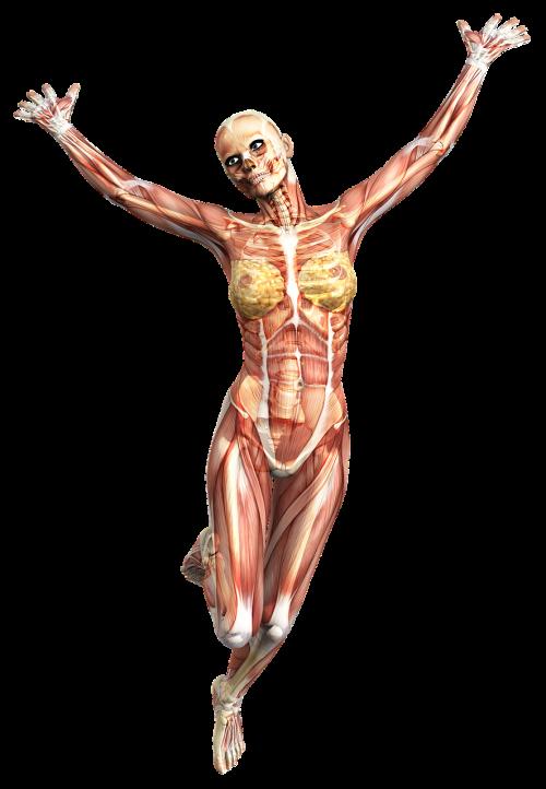 anatomy female muscles