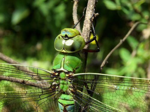 anax imperator emperor dragonfly blue emperor