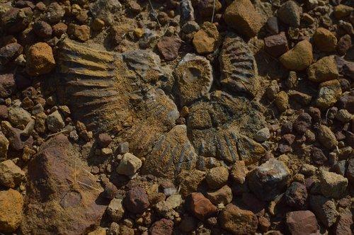 ancient aquatic fossil  kutch fossil  indian fossil