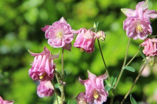 ancolie pink  columbine  flowering