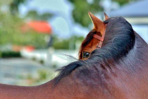 andalusian bay stallion