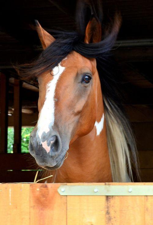 andalusian quater horse horse pferdeportrait