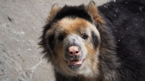 andean bear spectacled bear bear