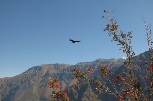 andean condor colca canyon the cross of the condor