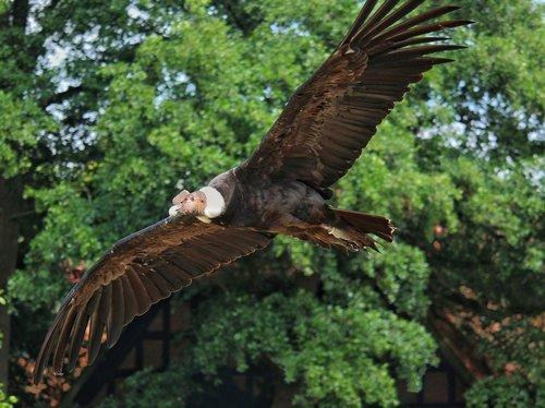 andean condor  condor  raptor