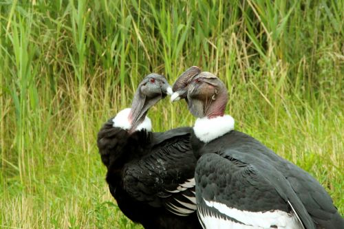 Andean Condors 2