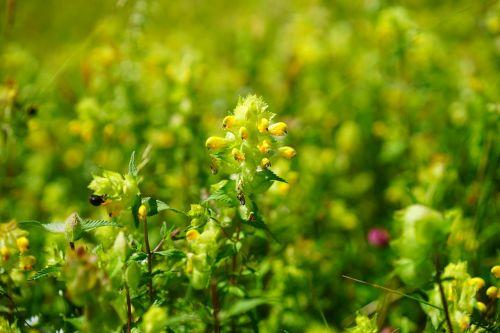 androsace rattling pot angustifolius blossom