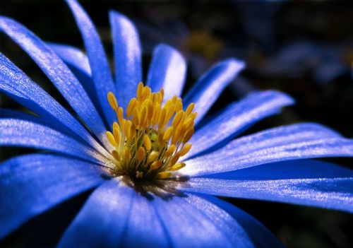 anemone blue plant