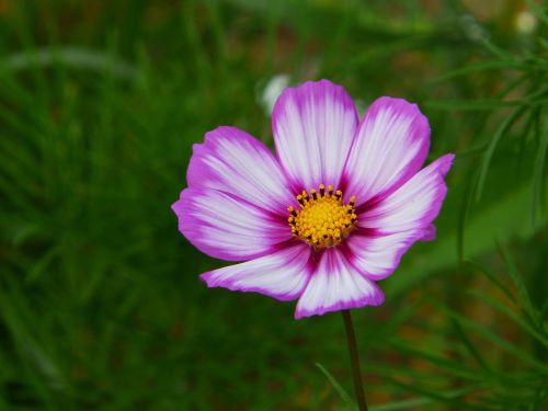 cosmea cosmos flower meadow