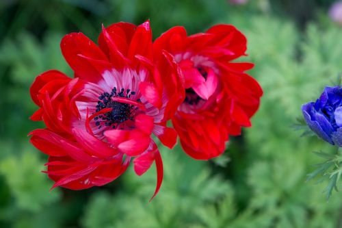 anemone red red anemone