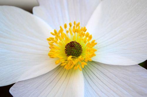 anemone white flower