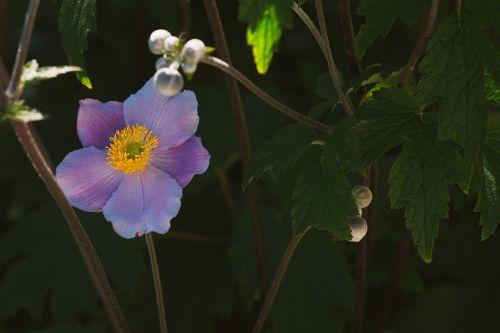 anemone fall anemone blossom