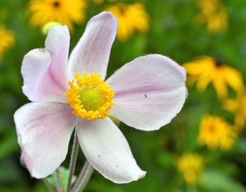 anemone fall anemone anemone hupehensis