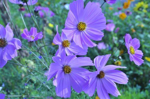 anemone purple flowers