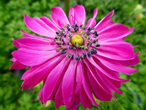 anemone flower spring