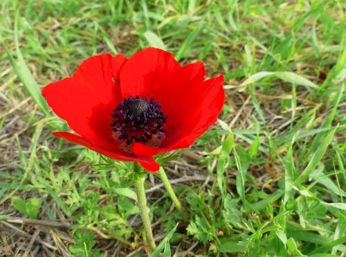 anemone red nature