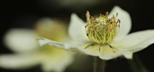 anemone hahnenfußgewächs blossom