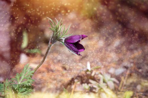 anemonis,gėlė,žiedas,žydėti,violetinė,violetinė,tamsiai raudonos gėlės,tamsiai violetinė,sodas,Sode,atskirai,flora,gėlių sodas,pavasario gėlė,pavasaris,Uždaryti,gėlių fotografija