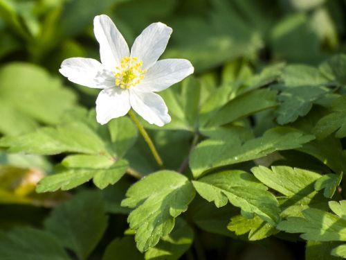 anemone wood anemone flower