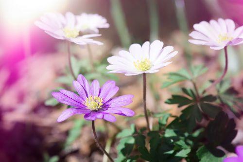 anemone flowers white