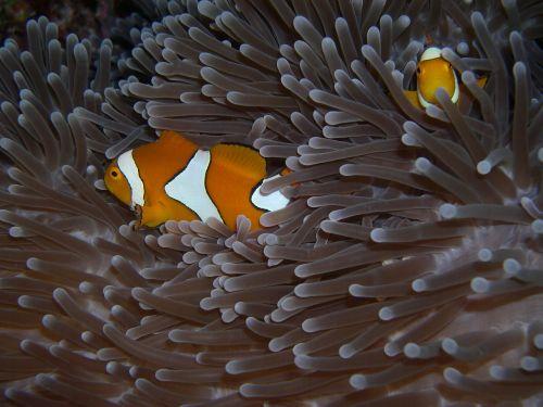 anemone fish immersion