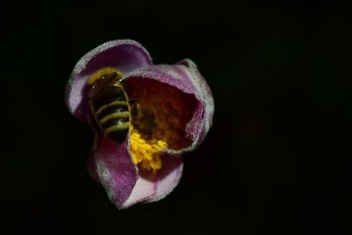 anemonis,bičių,Uždaryti,maistas,Paieška,pabarstyti,sunkiai dirbantis,arbeiterinportrait,surinkti,medus,žiedadulkės,vasara,gėlė,žiedas,žydėti,rožinis,vabzdys