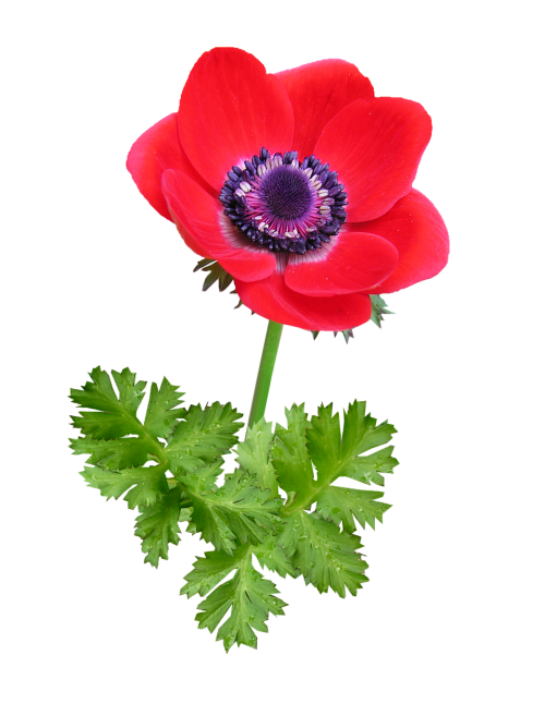 anemone bloom red