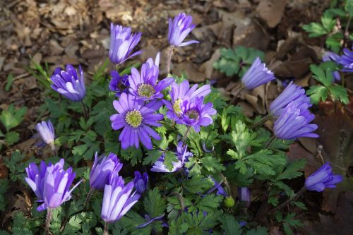 anemone flowers violet