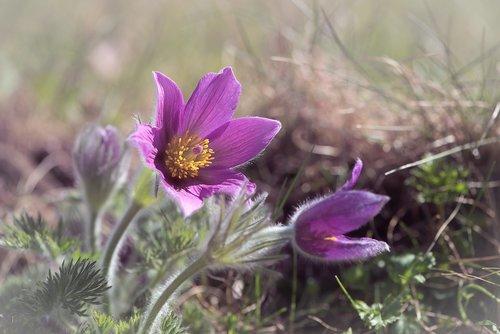 Anemone, violetinė, violetinė Anemone, gėlė, violetinė gėlė, žiedas, žydi, žiedlapiai, piestelė, Sodas, Sode, pavasaris, Pavasario gėlė, pobūdį, floros, Iš arti
