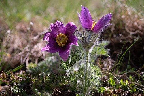 Anemone, gėlė, violetinė Anemone, violetinė gėlė, gėlės, gėlė violetinė, Sodas, Sode, pavasaris, spyruokliniai žiedai, pobūdį, floros, Iš arti, augalų, žydėjimas