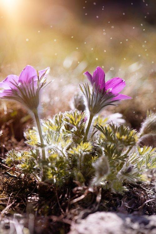 anemone  purple  purple anemone