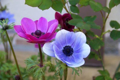 anemone  věncová  jerusalem