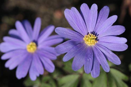 anemone  flowers  flora