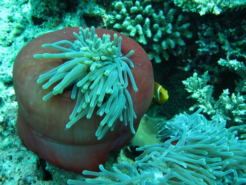 anemone clown fish maldives