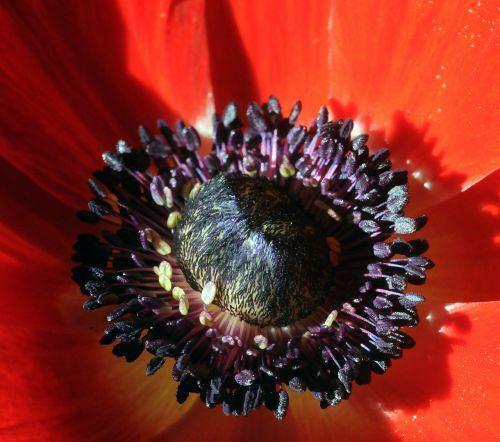anemone red stamen