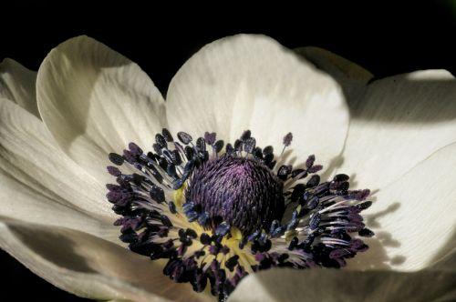 anemone garden stamen