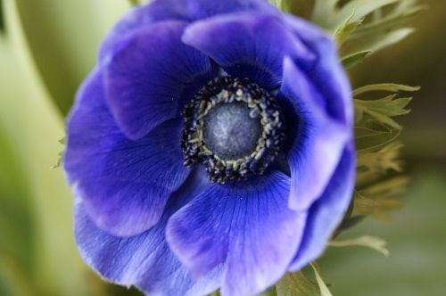 anemone crown anemone blue
