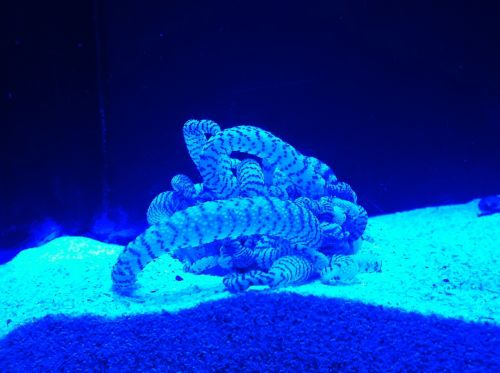 anemone ultra violet blue