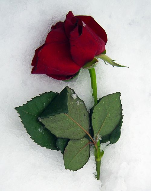 anemone blanda roses red