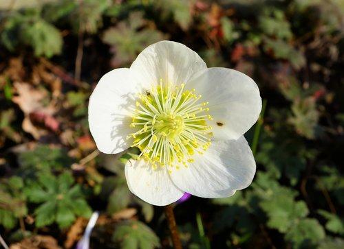 anemone blanda  christmas rose  winterblueher
