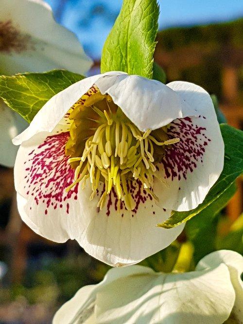anemone blanda  christmas rose  flower