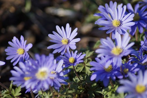 anemone blanda  flower  anemone